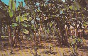 Purto Rico Typical Banana Trees and Pineapple Grove