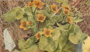 Marsh Marigold, Caltha palustris Flower Divided Back