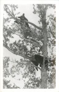 Bear Cubs Treed~One Looks Asleep~#49082~1950s Haynes Real Photo Postcard~RPPC