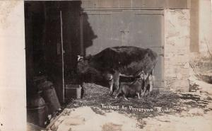 Pittstown New Jersey Pig Thief Cow Real Photo Antique Postcard K67622