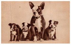 Dog , Boston Terriers