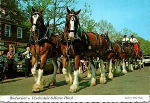 Virginia Williamsburg Merchants Square Budweiser Clydesdale 8 Horse Hitch