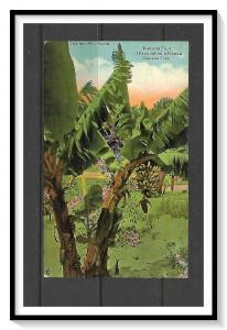 Florida - Buds & Fruit On Banana Tree - [FL-024]