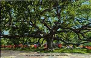 One Of Largest Oldest Oak Tree Florida Vintage Postcard Standard View Card