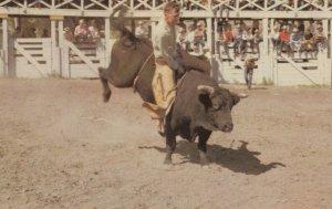 CALGARY , Alberta , Canada , 1950-60s Stampede Brahma Bull Riding