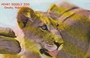Nebraska Omaha African Lion At Henry Doorly Zoo