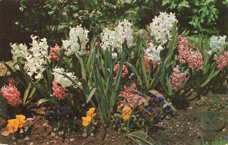 Postcard Spring Blooming Hyacinths And Pansies ME8.