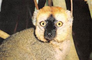 Madagascar Lemuriens Lemur Fulvus Rufus