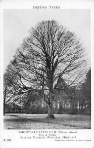 British Trees, Smooth-Leaved Elm (Ulmus  nitens) in Winter (Natural History)