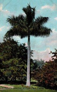 Florida Royal Palm Beautiful Specimen