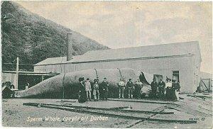 20983 - ETHNIC VINTAGE POSTCARD: SOUTH AFRICA - Durban : SPERM WHALE!! 1917