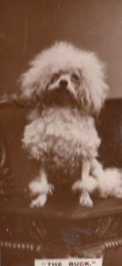 The Buck Shaven Poodle Dog Dogs Antique Real Photo Cigarette Card
