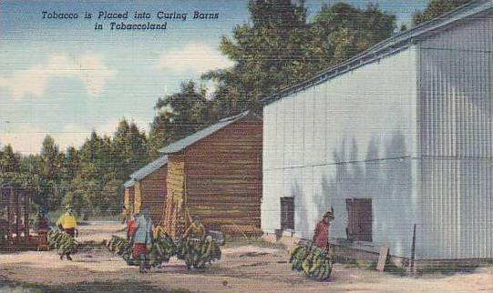 Tobacco is Placed into Curing Barns in Tobaccoland