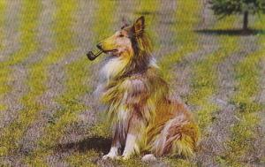 Dogs The Intellectual Pipe Collie Smoking Pipe