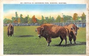 Canada Buffalo in Assiniboine Park, Winnipeg, Maitoba