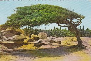Divi-Divi Tree , Aruba , PU-1977