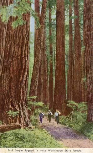 WA - Tall Trees in State Forest
