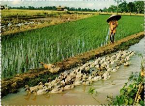 CPM Central Jawa, rural scene with a duck-herder INDONESIA (726824)
