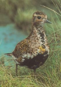 Golden Plovers Bird Irvine Scotland Scottish Postcard