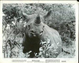 MOVIE STILL / BELOW THE SAHARA / 1953 - rhino charging / RKO