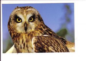 Short Eared Owl, North American Birds
