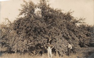 F52/ Saugatuck Michigan RPPC Postcard 1909 Baldwin Apple Tree Man