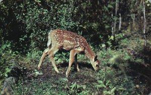 Greetings from Oscoda, Michigan, MI, Deer, Fawn, 1953 Vintage Postcard g8902
