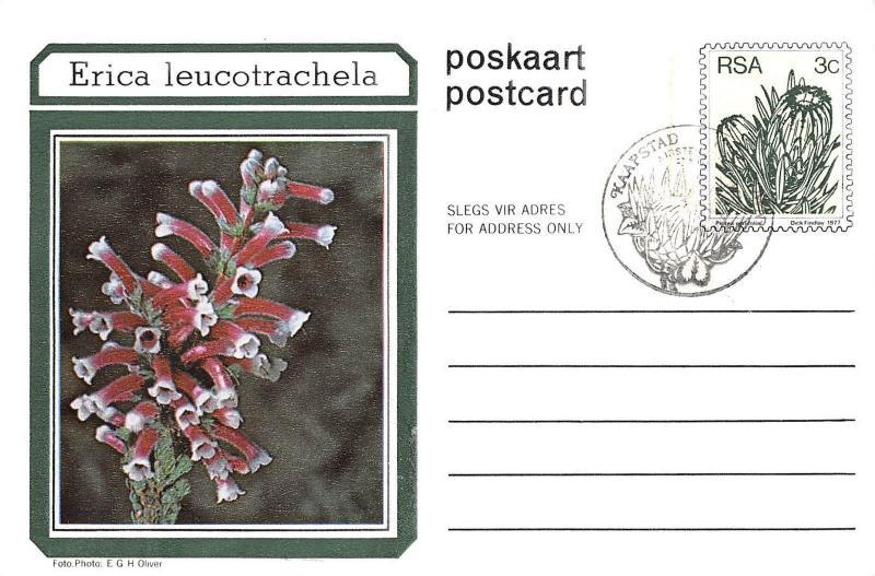 BR72059 erica leucootrachela flower fleur south africa