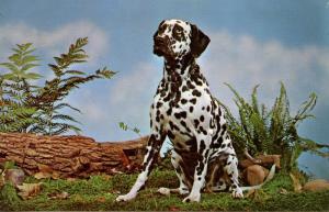 Dog -  Dalmation