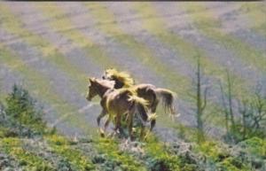 Wild Horses Of The Pryor Mountains