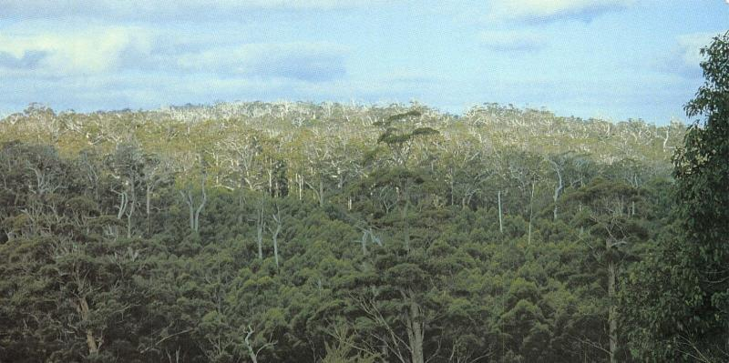 Postcard Valley of the Giants, Walpole-Nornalup National Park, W Australia OS23