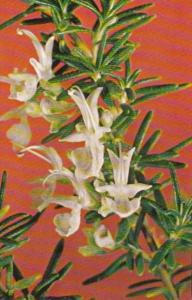 Flowers Rosemary Herb Society Of America