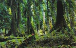Washington Olympic Village Hemlock & Spruce Trees In Rain Forest
