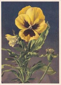 Flowers Stieffmuetterchen Pansy