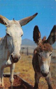 Donkey Post Card Two Donkeys Boston, Massachusetts, USA Unused