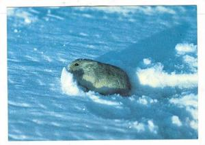 Greenland, 60-80s , Snow rodent