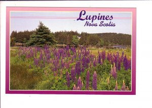 Lupines, Nova Scotia