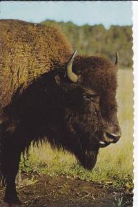 Bison / Buffalo , Canada , 40-60s