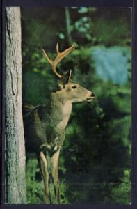 White Tail Buck,Deer