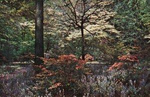 Postcard Winterthur Gardens Kaempferi Hybrid Azaleas