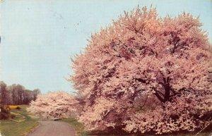 P4118 usa delaware winterthur gardens cherry trees blossom narcissi forsythia
