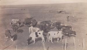 RP: Cattle Herd , CRAIG, Saskatchewan , Canada , PU-1913