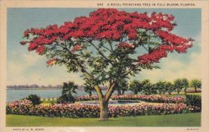 Florida Trees A Royal Poinciana Tree In Full Bloom Curteich