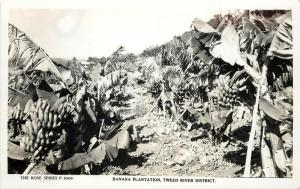 RPPC Postcard Banana Plantation Tweed River District Australia