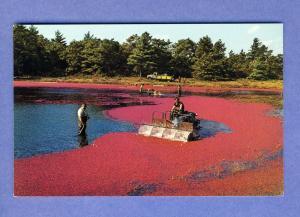 Harvesting Cranberries On Cape Cod Postcard, Mass/MA