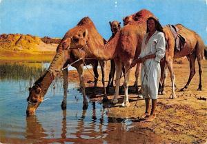 Tunisia Ile de Djerba sur la route du Diorf, camels