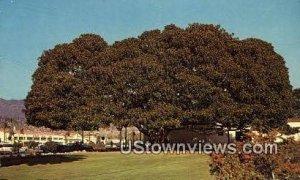 Moreton Bay Fig Tree - Santa Barbara, CA