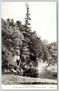 White Pines Forest State Park IL~Sentinel Tree~Taller than Aller~1940s CR Childs