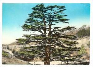 RP  LEBANON , PU-1964  The Cedars, closeup