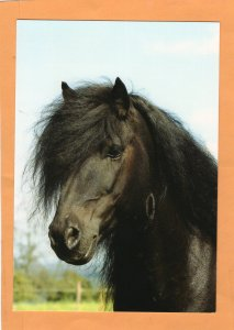 Black Island Stallion Pony Horse Postcard Portrait Head Study Irene Hohe